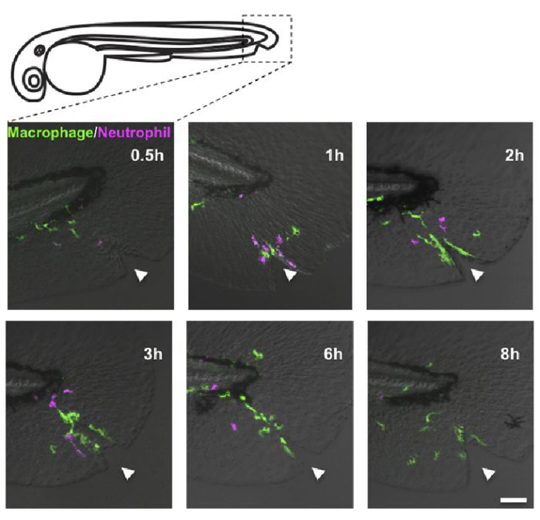 Time-lapse sequence of macrophages and neutrophils migrating to a wound in zebrafish